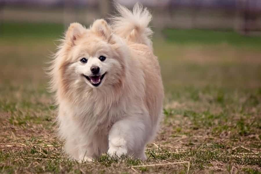 Pomeranian walking in grass