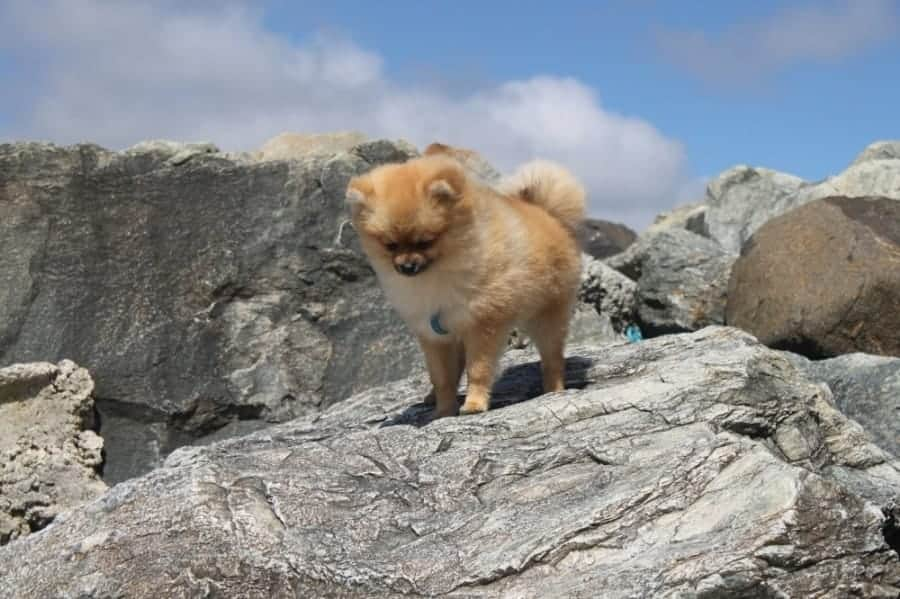 Pomeranian on large rocks