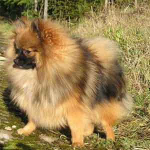 Grooming Supply Costs for Pomeranians