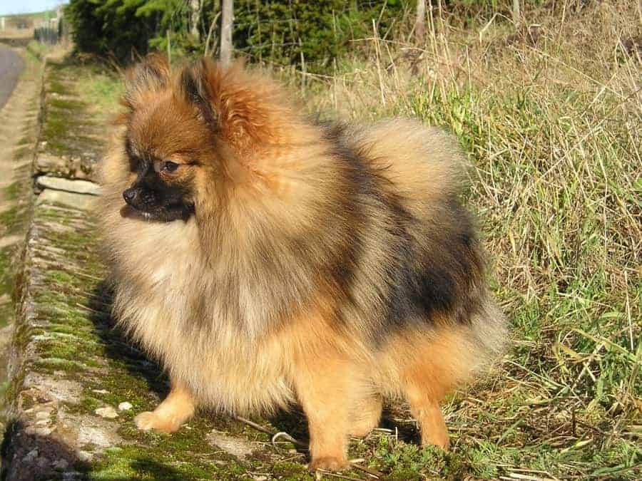 Puffy Pomeranian in grass