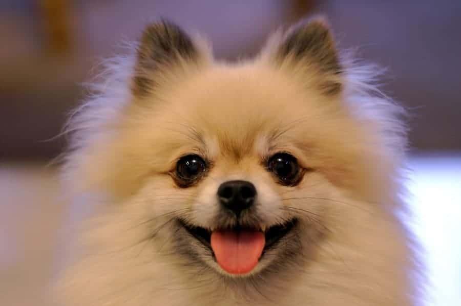 Smiling Pomeranian closeup