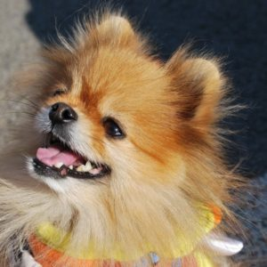 How to Fix Pomeranian Breathing Problems