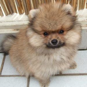Treating Pomeranian Skin Conditions