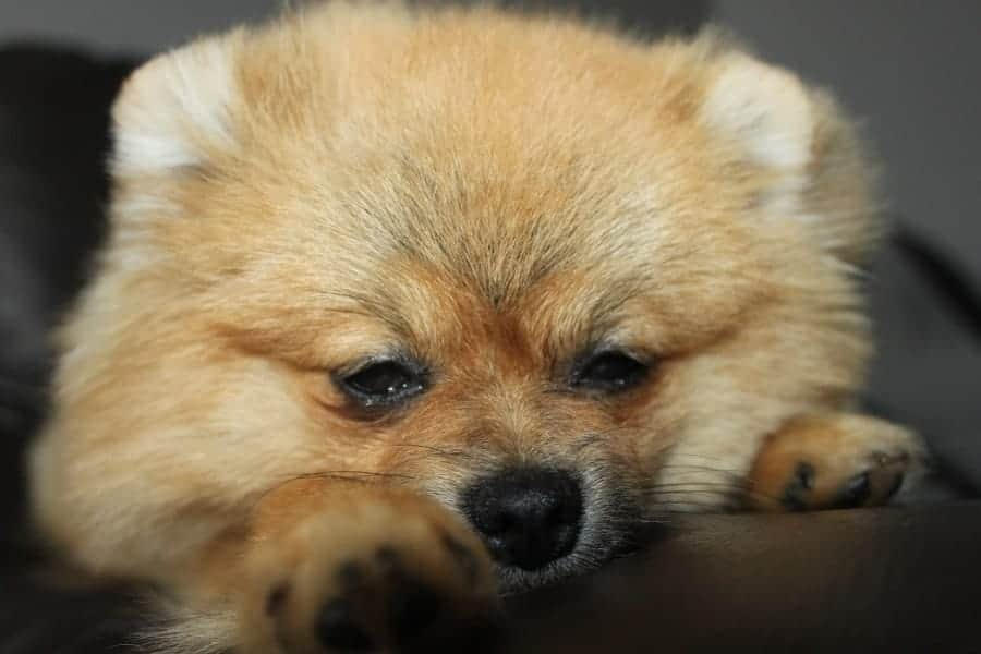 Sleepy Pomeranian