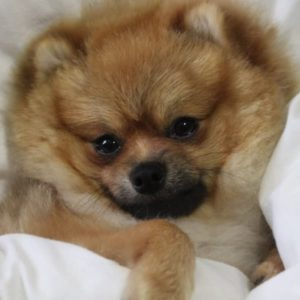 20 Things to Know Before Owning a Pomeranian