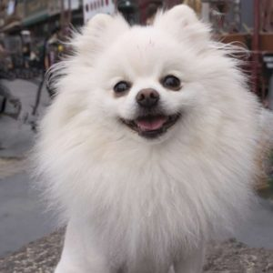 20 Ways to Make Your Pomeranian Happy and Healthy