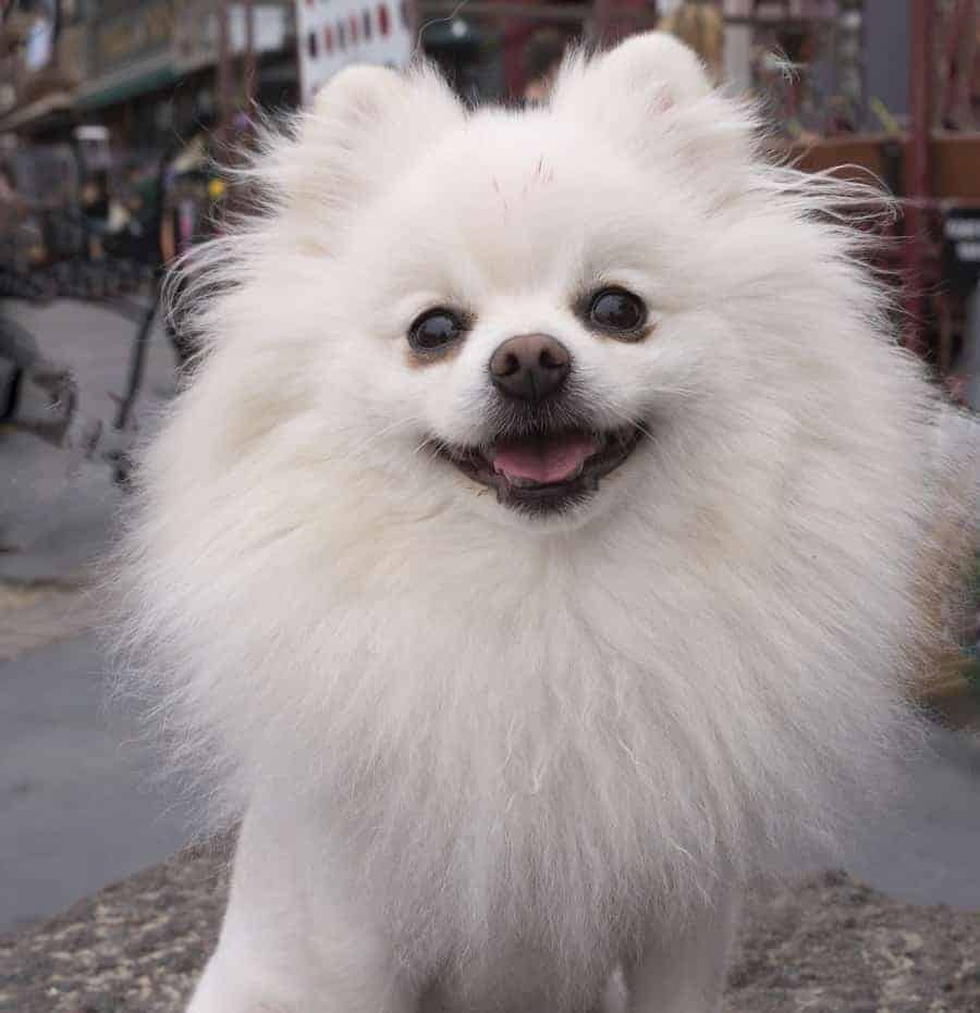 Pomeranian smiling