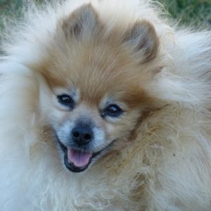 How to Help Your Pomeranian Lose Weight (Proven Method)
