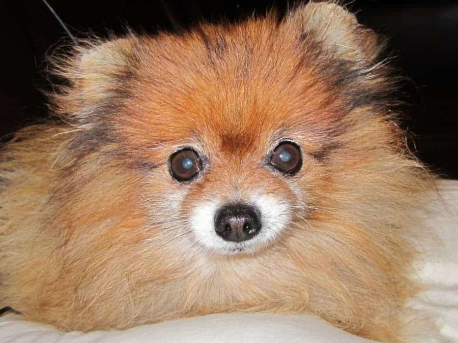 25 Most Healthy Human Food For Pomeranians Spinning Pom