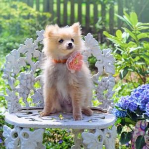 The Best Shampoo for Pomeranians (Plus 10 More!)
