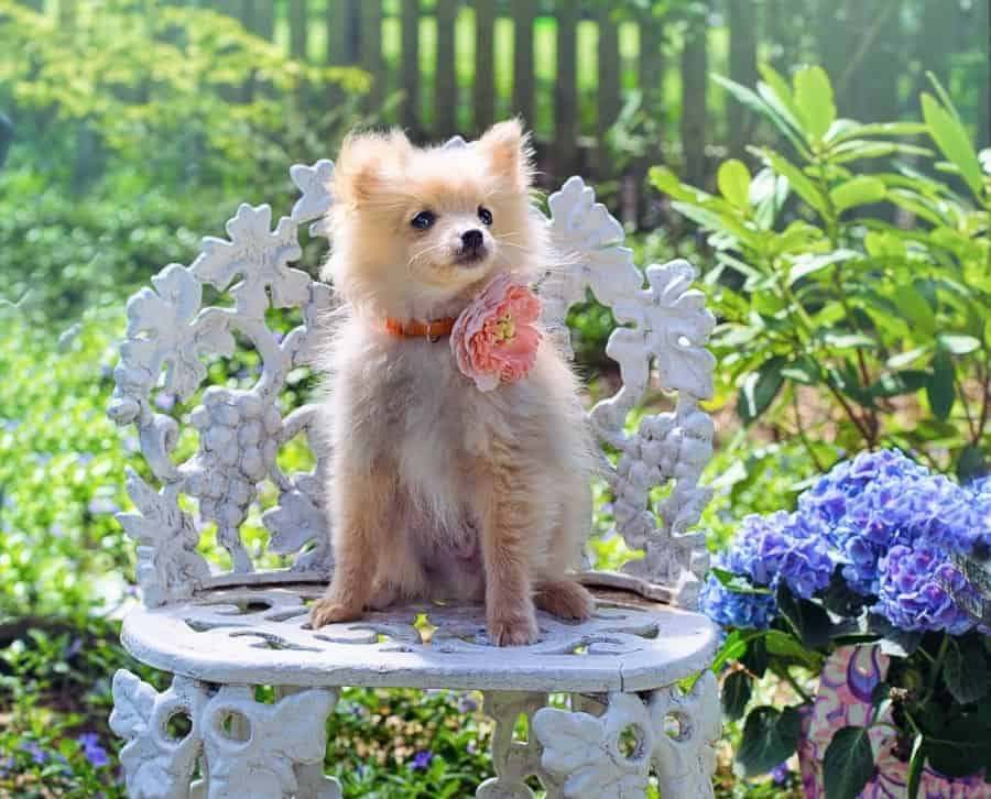 Pomeranian on a chair