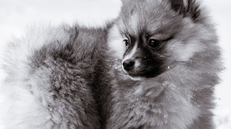 Pomeranian in snow
