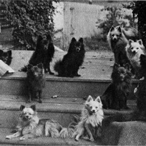 Unbelievable History of Pomeranians (Plus Amazing Pictures)