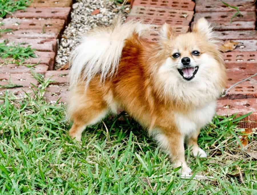 Pomeranian on grass