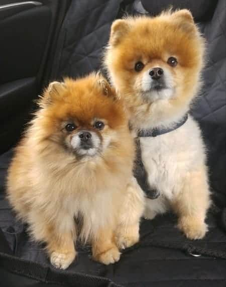 Two Pomeranians listening