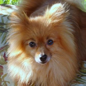 Top 14 Best Leave-In and Detangler Sprays for Pomeranians