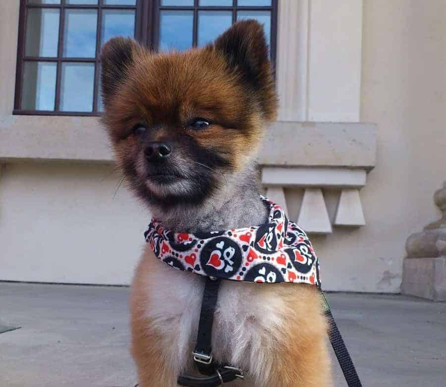Pomeranian on a harness