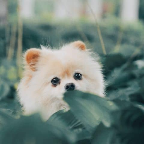 How to Treat Heart Murmurs in Pomeranians [Step-By-Step]