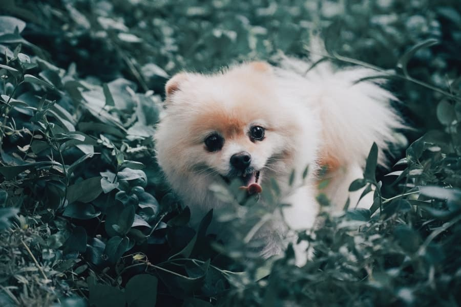 Pomeranian in a forest