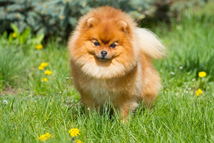 Pomeranian in a grass field