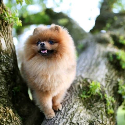 How Long Can Pomeranians Be Left Alone?
