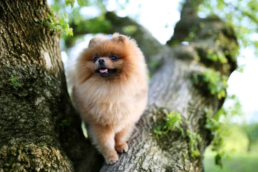Pomeranian in a tree