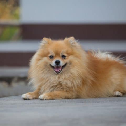 How to Help Pomeranian Separation Anxiety (10 Tips)