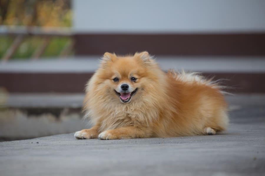 Pomeranian lying on ground happy