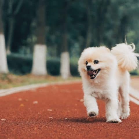 Homeopathic Remedies for Congestive Heart Failure in Dogs