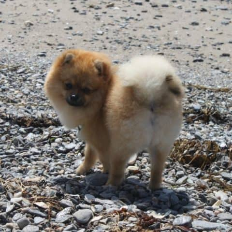 CBD Oil for Pomeranians: Treat Your Pomeranian's Anxiety