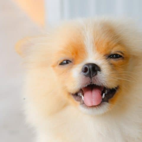 How Much CBD Oil Should I Give My Pomeranian for Anxiety?