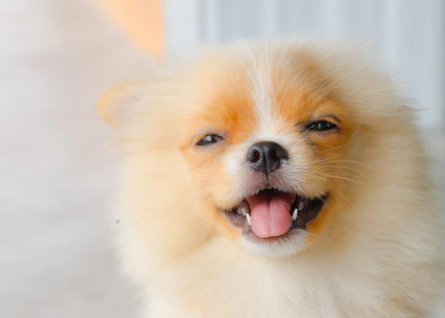 Pomeranian puppy smiling