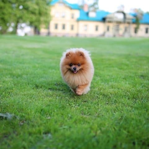 How Long Can a Pomeranian Live with an Enlarged Heart?