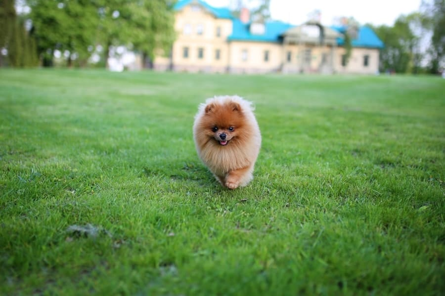 Pomeranian running in grass