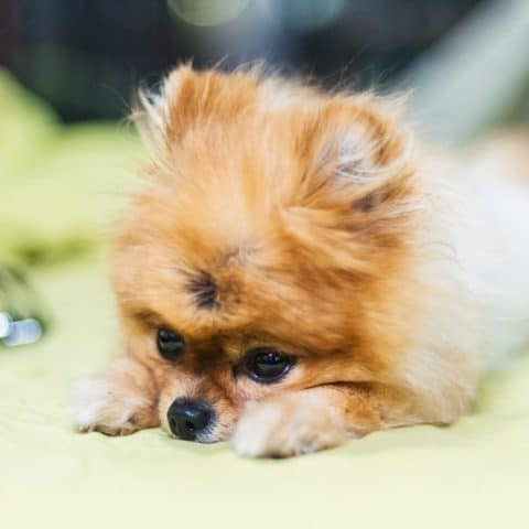 12 Essential Oils for Dogs with Anxiety