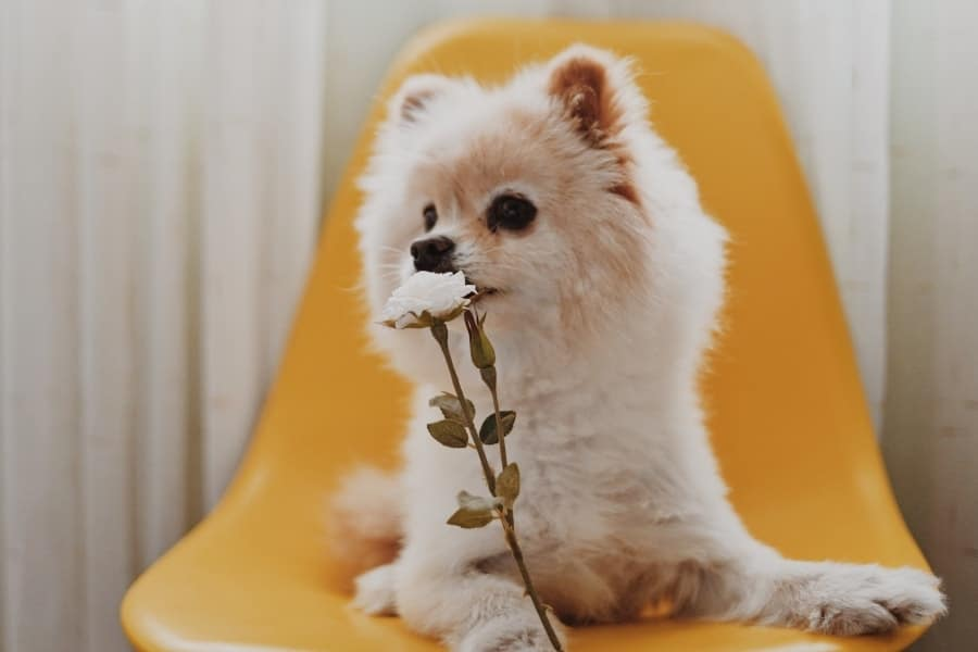 Pomeranian sitting on chair with flower