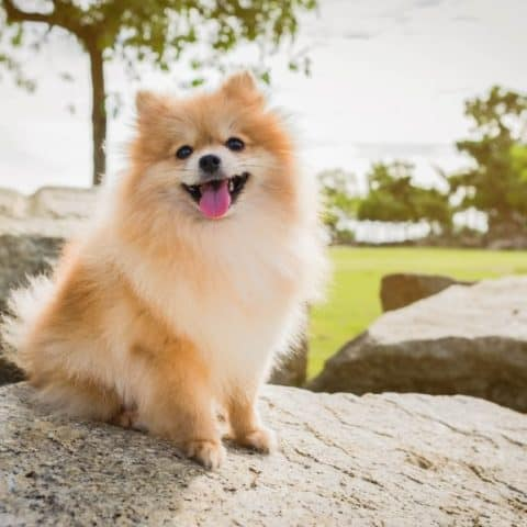 10 Best Fish Oil for Pomeranians (Joint and Heart Care)