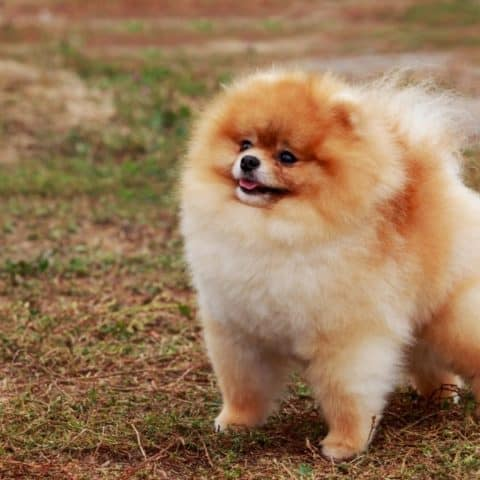 The Best Heartworm Medicine for Pomeranians