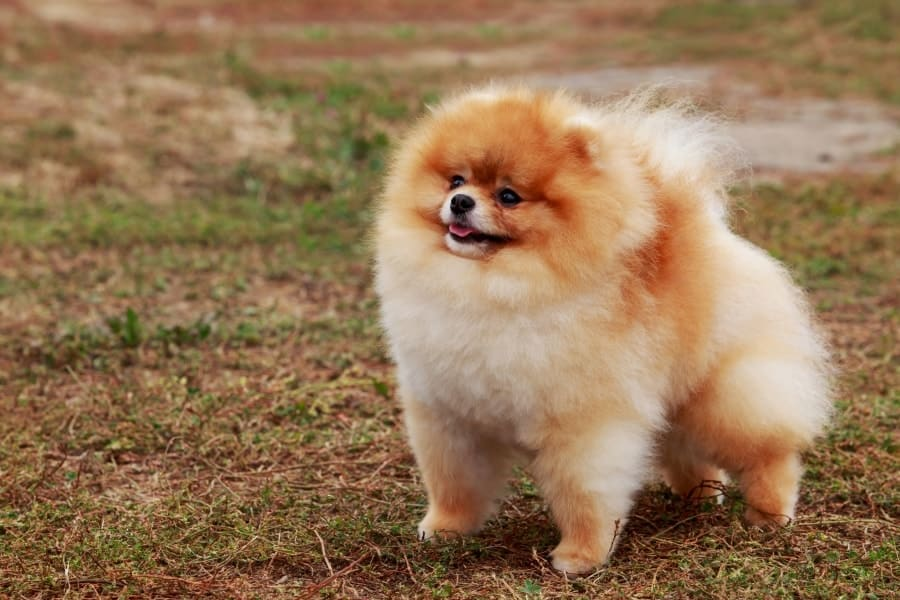 Pomeranian standing in grass