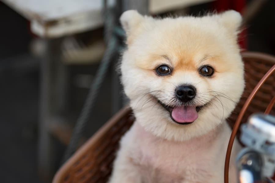 Pomeranian with haircut