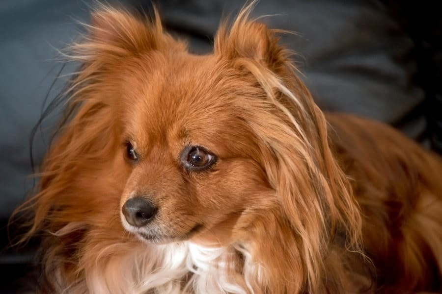 Pomeranian with long hair