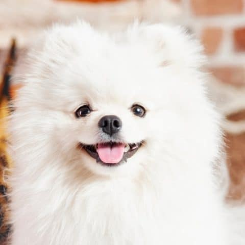 10 Best Anti-Bark Collars for Pomeranians (100% Humane)