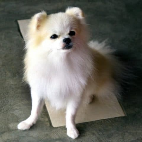 What Causes an Enlarged Heart in Pomeranians?
