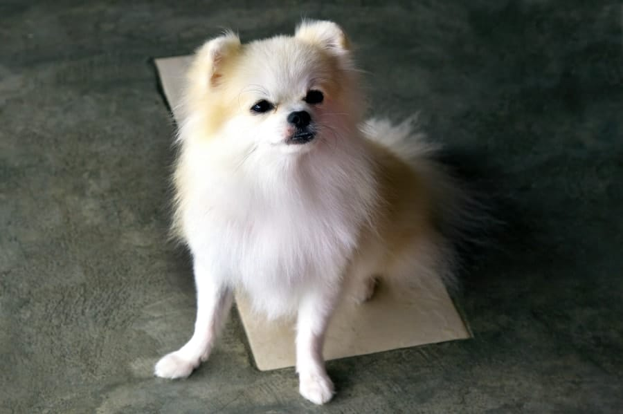 White Pomeranian looking up