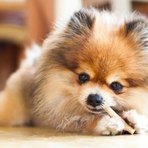 Top 8 Best Dental Chews for Pomeranians