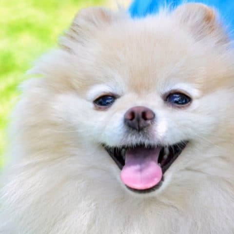 The Most Common Pomeranian Mouth Problems