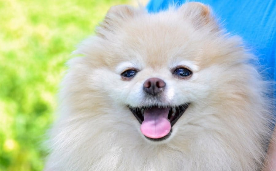 White Pomeranian showing mouth