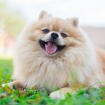 How Long Pomeranians Bleed During Heat