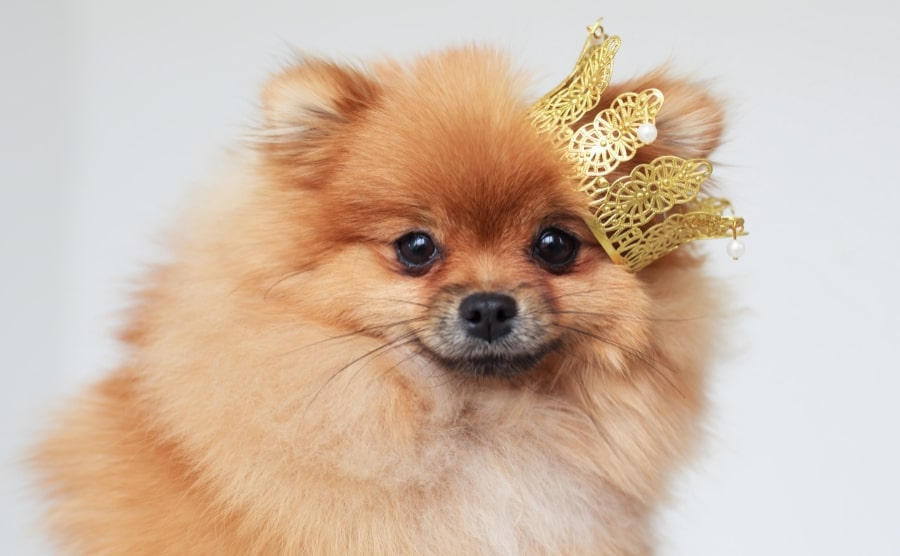 Pomeranian wearing a crown