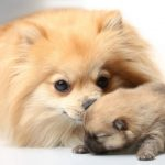 When Can a Pomeranian Get Pregnant?
